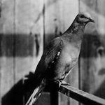 Aquella ocasión en la que extinguimos a una especie de paloma... Por comérnosla