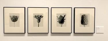 Karl Blossfeldt y su fotografía botánica, la maravillosa exposición temporal del museo Thyssen de Madrid que ver este otoño