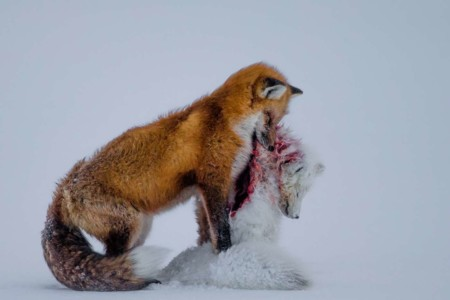 Wildlife Photographer Of The Year Y Mammals A Tale Of Two Foxes Don Gutoski Canada