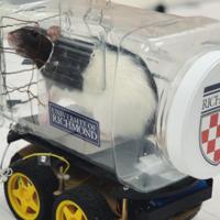 Ratas a la carrera: cómo sienten placer cuando aprenden a realizar mejor una habilidad como conducir este coche de plástico