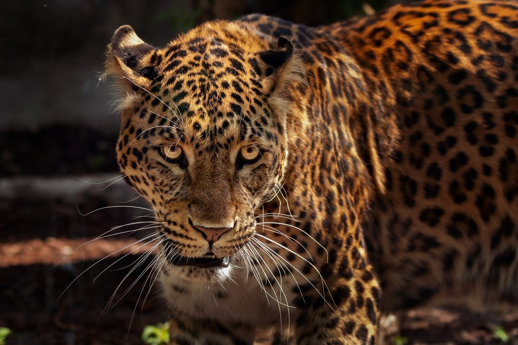 Comercializan con genitales de jaguar: ya se pide intervención de la guardia nacional en Chiapas, México