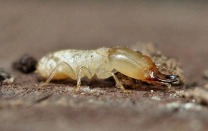 Las termitas marcan un nuevo rumbo en los Biocombustibles