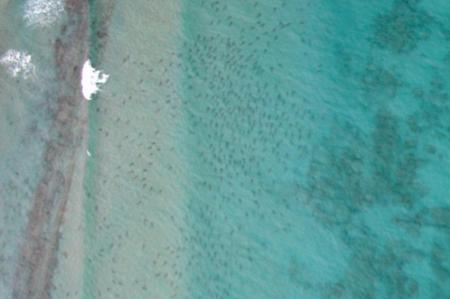 La migración más alucinante que vas a ver este año no la protagoniza el ñú, sino el tiburón