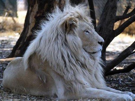 el-leon-blanco_800.jpg