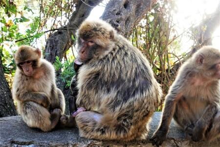 Familia De Macacos En Gibraltar E1612122578840