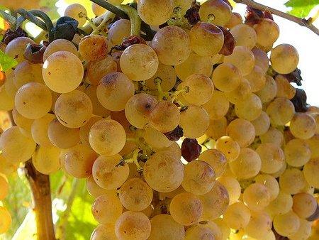 Se da luz verde a la Rioja blanca