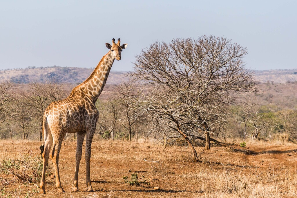 En Zimbabue están usando deep learning para identificar jirafas y entender por qué su población está disminuyendo