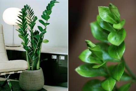 la zamioculca es una planta de de origen africano perenne que puede crecer hasta 1 m de altura es una de las menos exigentes en cuanto a cuidados - Plantas Verdes De Interior
