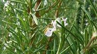 El orégano y el romero son buenos antioxidantes naturales
