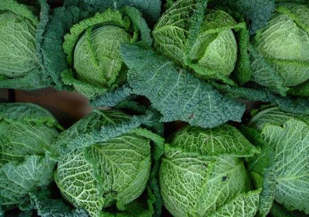 Repollo crespo: un concentrado de calcio entre las verduras