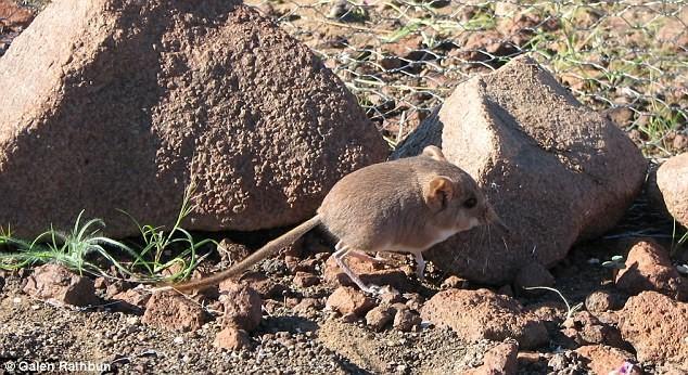 Una musaraña que tiene más relación con los elefantes que con los ratones