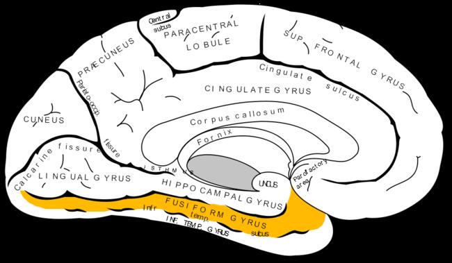 Gray727 Fusiform Gyrus