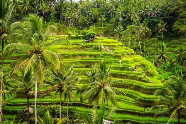 Este arroz transgénico no solo combatirá el hambre sino el cambio climático