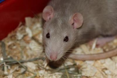 Un nuevo sistema para acabar con las ratas basado en un spray con Vitamina D