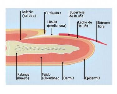 Foto-radiografía de una uña y sus distintas partes