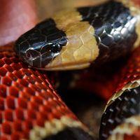 En 1976 en Chiapas encontraron una serpiente dentro de otra serpiente, pero hasta este año le pudieron poner nombre