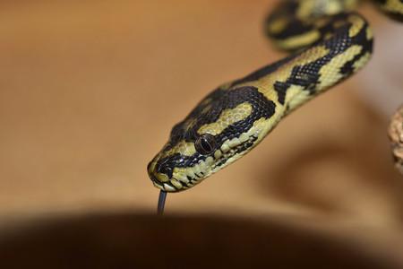Tú a Australia, yo a Escocia: una serpiente viaja 15.000 kilómetros en la maleta de un turista