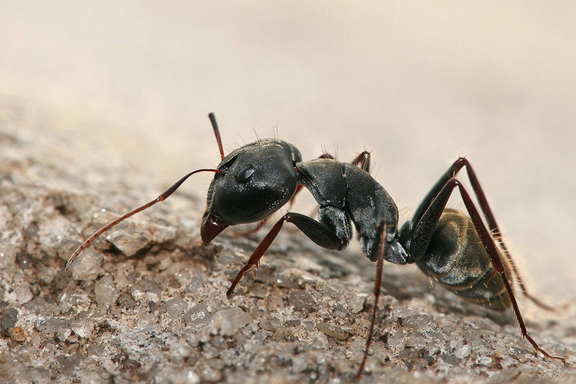 Revisión de cómo los parásitos son capaces de manipular la mente de los insectos