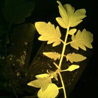 Esta planta de tomate produce proteínas fluorescentes para avisar al agricultor de que está en peligro o necesita agua