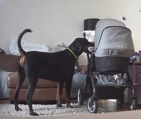 Un vídeo muestra al perro de la familia llevando al bebé de solo un mes su juguete favorito para calmarle, un gesto que enamora