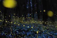 [Vídeo] Onírico TimeLapse de luciérnagas con estrellas de fondo