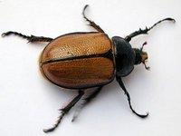 Singularidades extraordinarias de animales ordinarios (XX): el escarabajo
