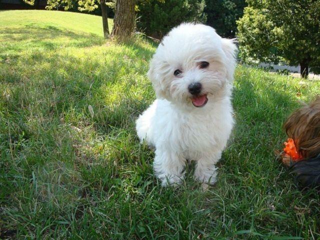 ¿Pueden los perros sentir celos?