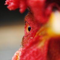 California ya ha sacrificado más de un millón de pollos en los últimos meses: seguimos teniendo problemas para contener epidemias