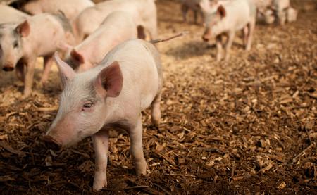 Cómo de probable es que la carne de cerdo que llega a tu plato salga de una granja intensiva