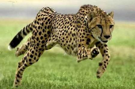 hombre corre mas guepardo:
