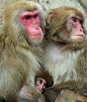 Los macacos suman mentalmente tan bien como los humanos