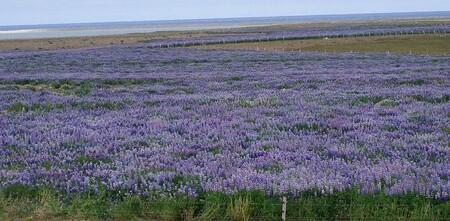 El famoso 'paisaje lunar' de Islandia se está volviendo de color púrpura debido a la introducción de una planta