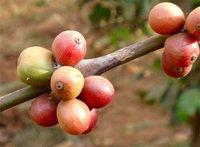 Descubierta una nueva bacteria que se alimenta del café