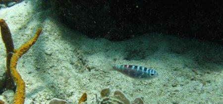 Este pez cambia 20 veces de sexo... cada día