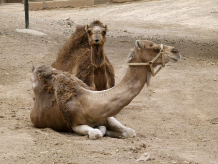 Camelus Dromedarius Dromedary Dromedar Dromadaire Oasis Park Fuerteventura 02