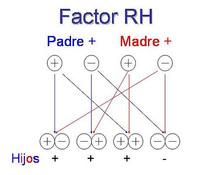 ¿Qué factor Rh heredará el bebé?