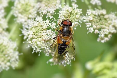 Las abejas son capaces de enseñar a resolver puzzles a otras abejas