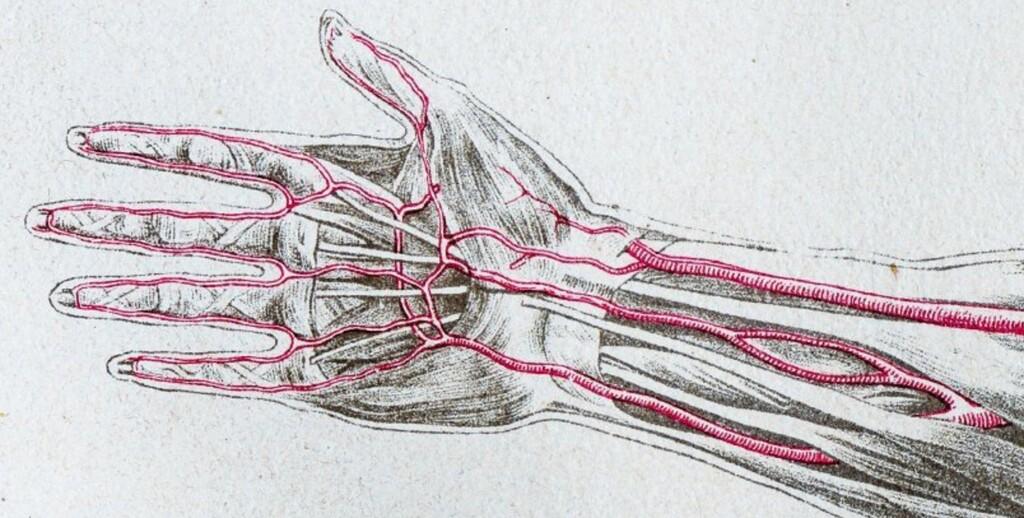 Seguimos evolucionando: cada vez más seres humanos nacen con una arteria extra en el brazo