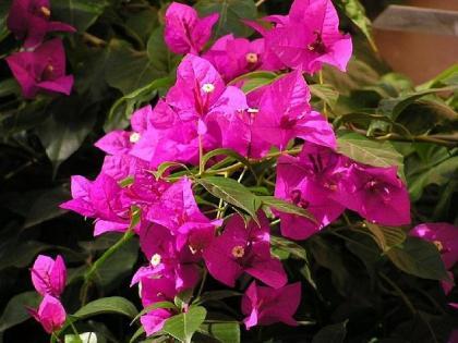 Plantas de exterior buganvilla for Flores de jardin exterior