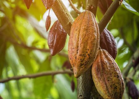 Semilla cacao