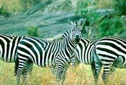 Kenyalogy: buenos datos para safaris