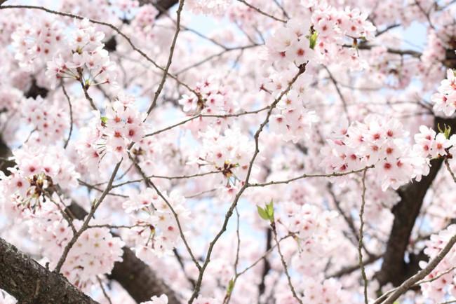 Dos rutas por el Valle del Jerte para disfrutar de la floración de los cerezos