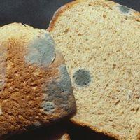 Cortar el moho del pan de molde para comerte el resto no es buena idea