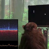 Un mono jugando al Pong es la primera demostración de Neuralink, el proyecto de Elon Musk para conectar el cerebro con los ordenadores