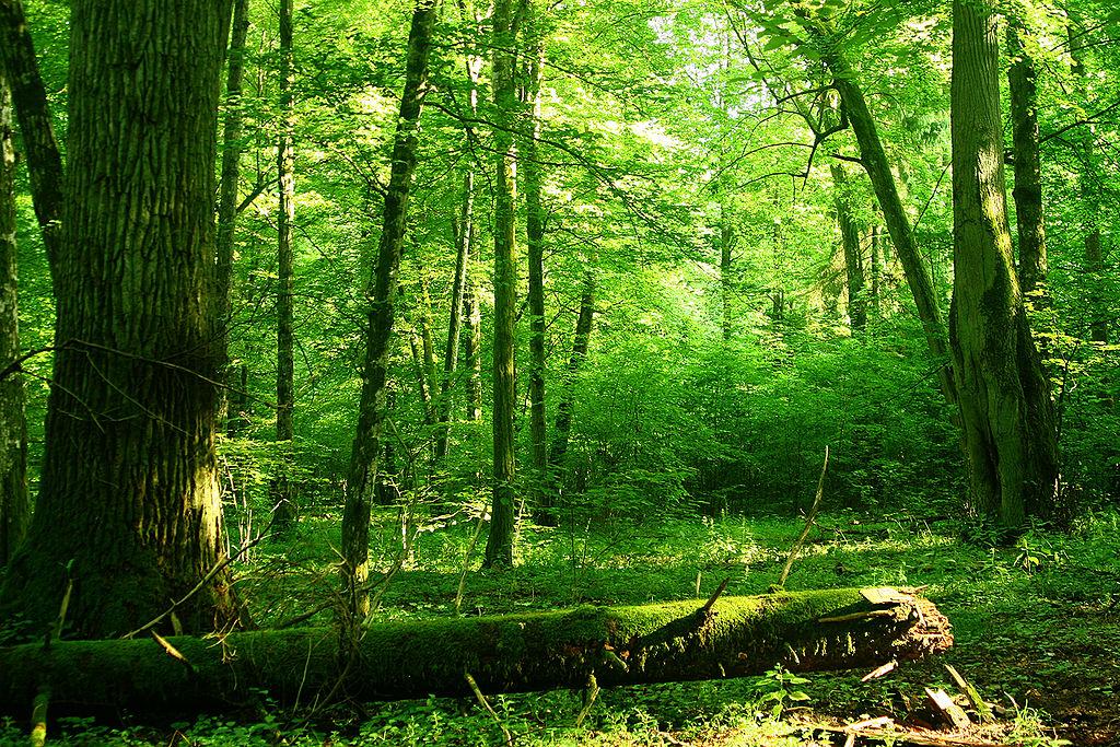 El ltimo gran bosque primario de europa corre peligro for Partes de un vivero forestal