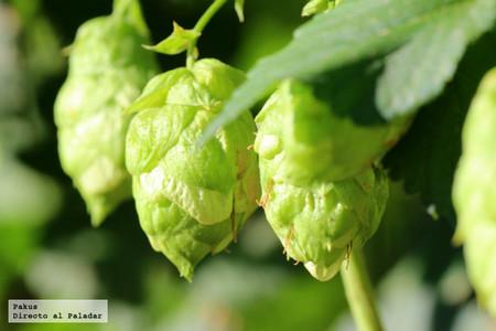 El lúpulo (II) El Oro verde: Su cultivo y transformación en pellets en España