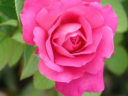 Podar los rosales para que crezcan con fuerza
