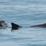 SEMARNAT a la cabeza en los esfuerzos internacionales por la conservación de la vaquita marina