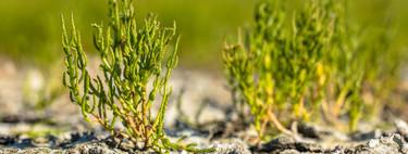 Verduras de costa, de litoral o del desierto: qué son las plantas halófilas y por qué cada vez más cocineros se rinden a ellas