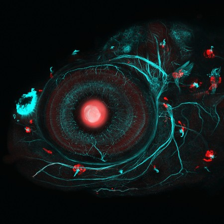 Zebrafish Eye And Neuromasts